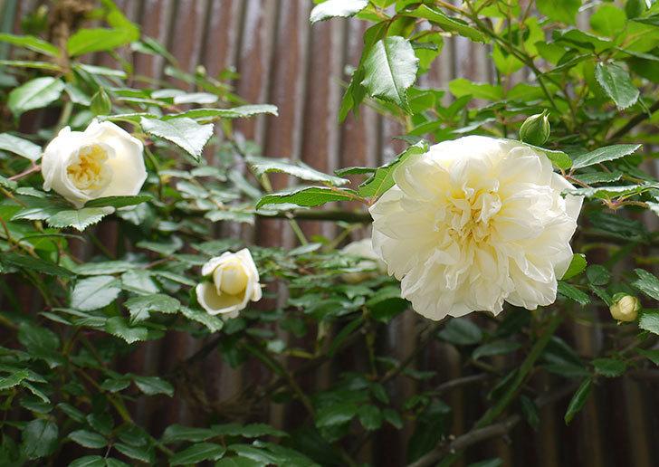 アルベリック・バルビエ(ツルバラ)の花が増えてきた。2016年-1.jpg