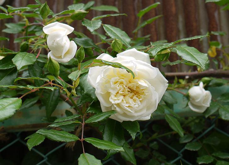アルベリック・バルビエ(ツルバラ)の花が増えてきた。2016年-10.jpg