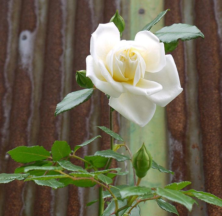 アルベリック・バルビエ(ツルバラ)の花が増えてきた。2016年-11.jpg