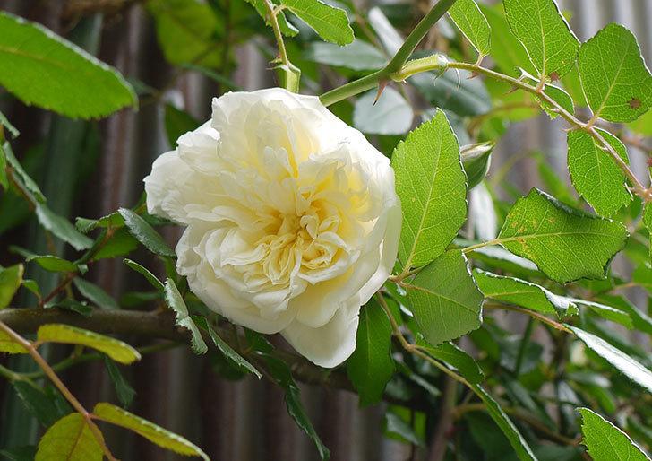 アルベリック・バルビエ(ツルバラ)の花が増えてきた。2016年-3.jpg