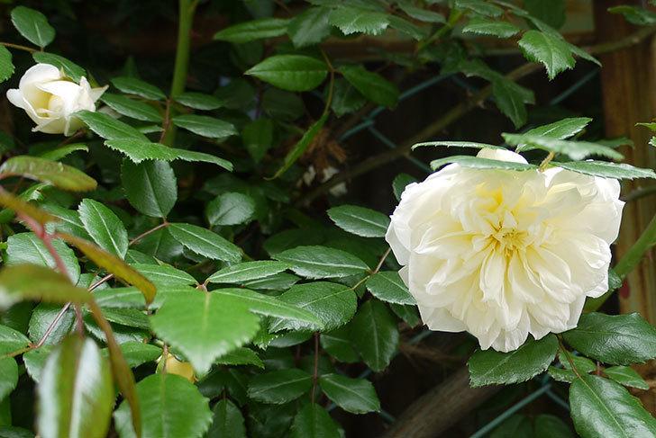 アルベリック・バルビエ(ツルバラ)の花が増えてきた。2016年-4.jpg