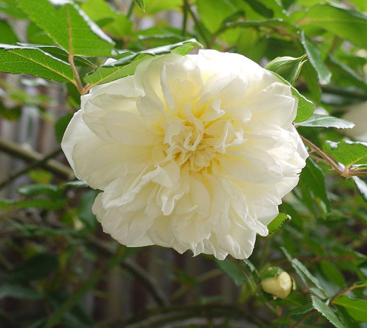 アルベリック・バルビエ(ツルバラ)の花が増えてきた。2016年-6.jpg