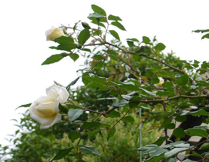 アルベリック・バルビエ(ツルバラ)の花が増えてきた。2016年-9.jpg