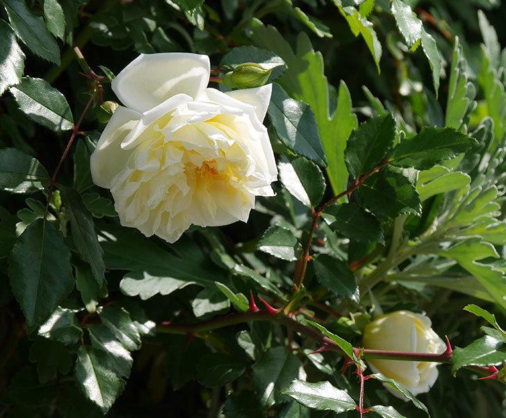 アルベリック・バルビエ(ツルバラ)の花が増えてきた。2018年-1.jpg