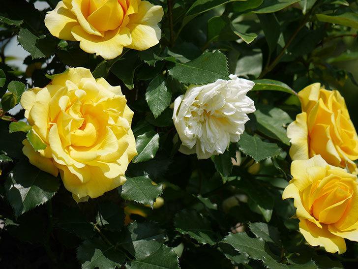 アルベリック・バルビエ(ツルバラ)の花が増えてきた。2018年-10.jpg