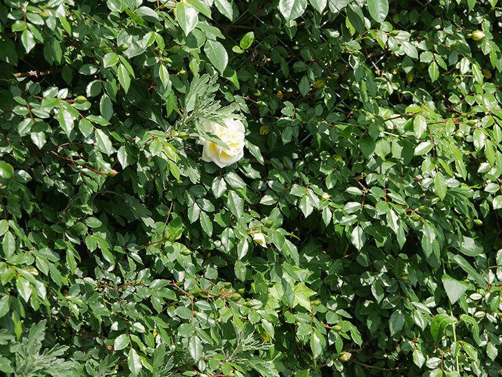 アルベリック・バルビエ(ツルバラ)の花が増えてきた。2018年-11.jpg