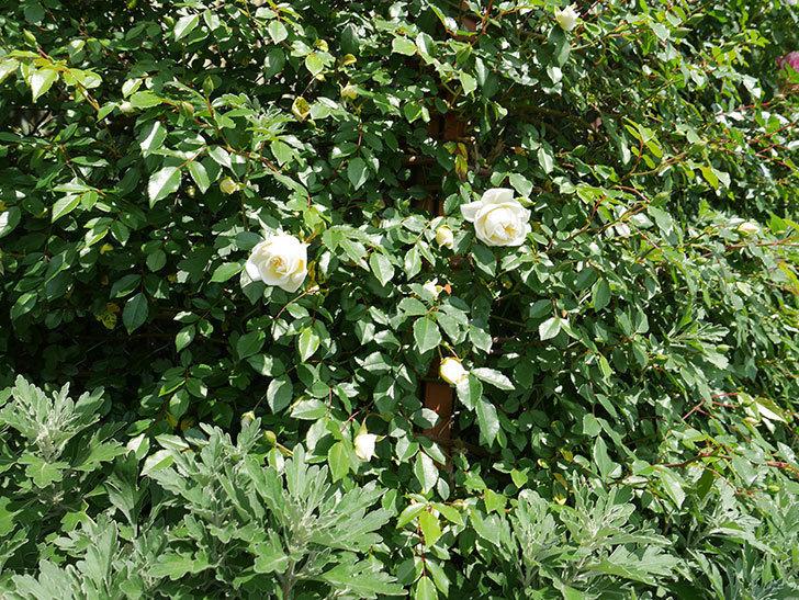アルベリック・バルビエ(ツルバラ)の花が増えてきた。2018年-12.jpg