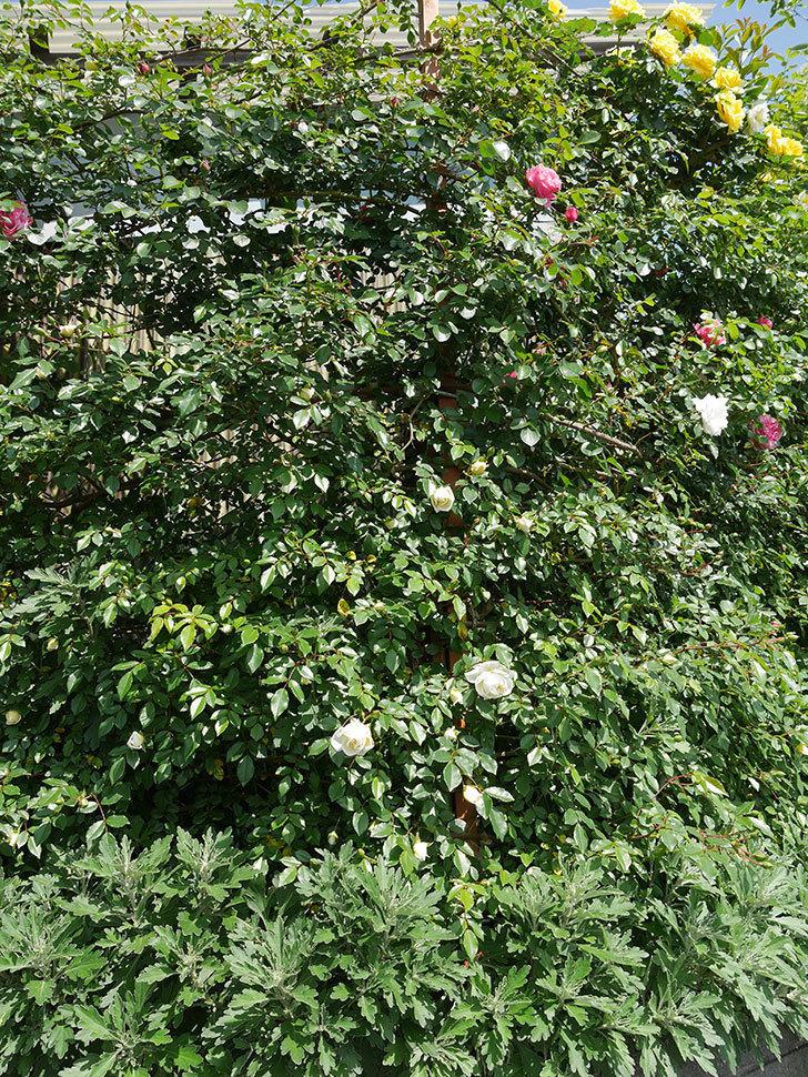 アルベリック・バルビエ(ツルバラ)の花が増えてきた。2018年-14.jpg