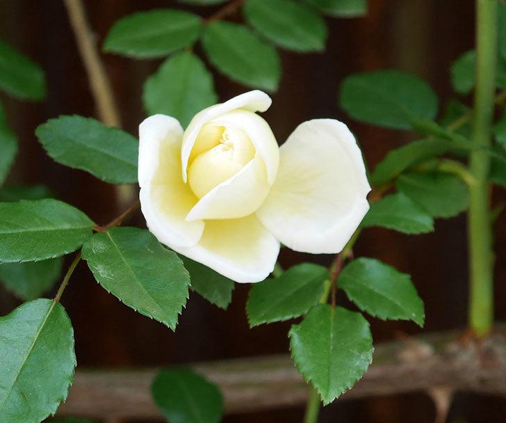 アルベリック・バルビエ(ツルバラ)の花が増えてきた。2018年-2.jpg