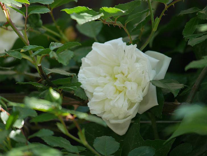 アルベリック・バルビエ(ツルバラ)の花が増えてきた。2018年-3.jpg