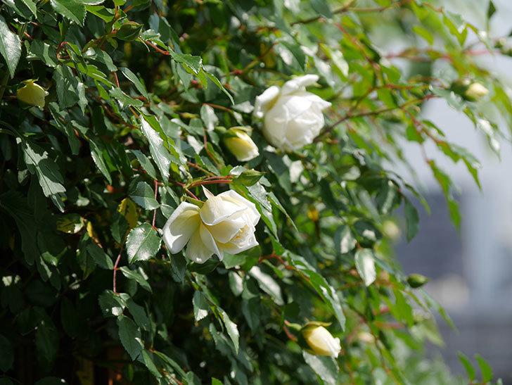 アルベリック・バルビエ(ツルバラ)の花が増えてきた。2018年-4.jpg