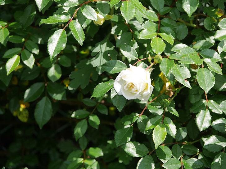 アルベリック・バルビエ(ツルバラ)の花が増えてきた。2018年-5.jpg