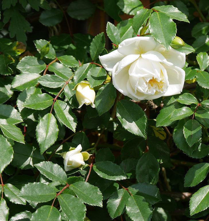 アルベリック・バルビエ(ツルバラ)の花が増えてきた。2018年-6.jpg