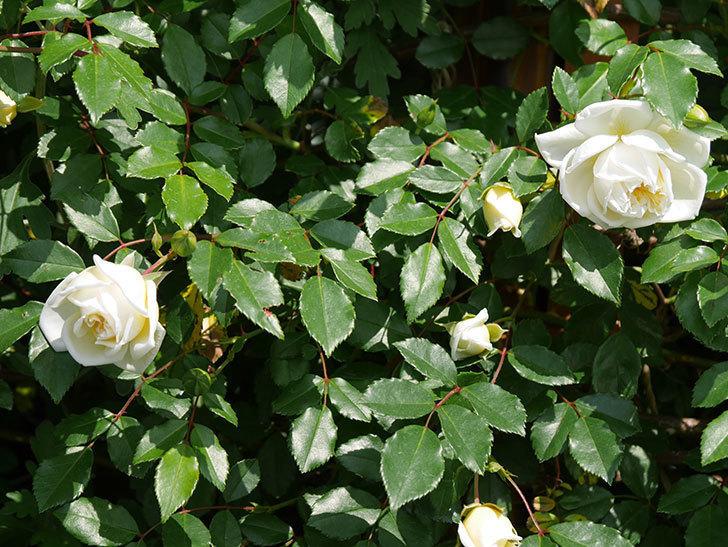 アルベリック・バルビエ(ツルバラ)の花が増えてきた。2018年-7.jpg