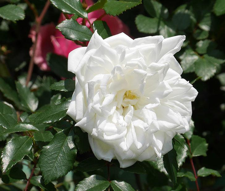 アルベリック・バルビエ(ツルバラ)の花が増えてきた。2018年-8.jpg