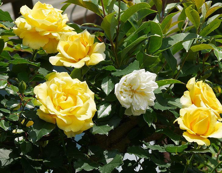 アルベリック・バルビエ(ツルバラ)の花が増えてきた。2018年-9.jpg