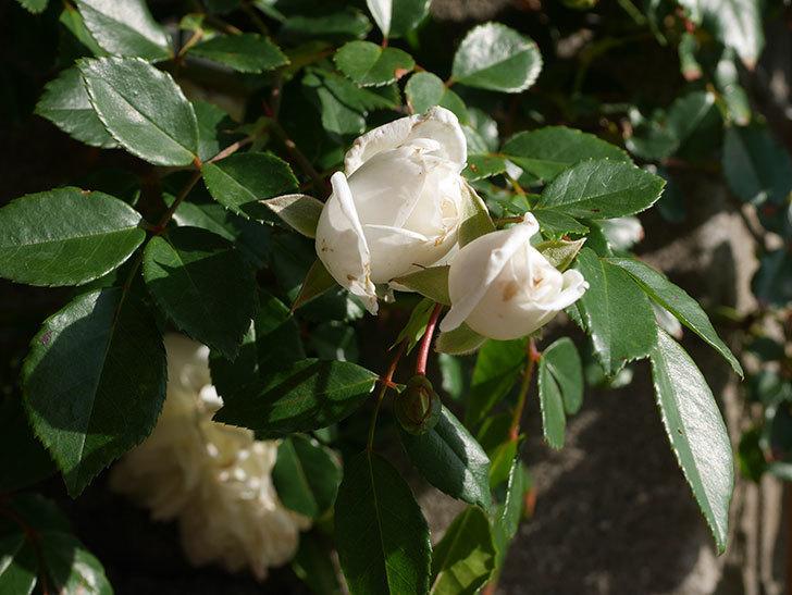 アルベリック・バルビエ(ツルバラ)の花が増えてきた。ツルバラ。2021年-001.jpg