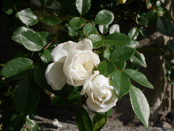 アルベリック・バルビエ(ツルバラ)の花が増えてきた。ツルバラ。2021年-002.jpg