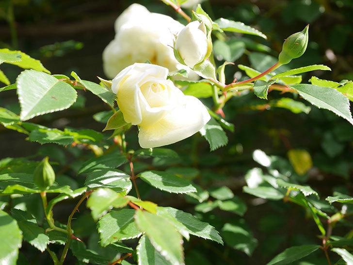 アルベリック・バルビエ(ツルバラ)の花が増えてきた。ツルバラ。2021年-003.jpg
