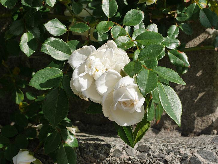 アルベリック・バルビエ(ツルバラ)の花が増えてきた。ツルバラ。2021年-004.jpg