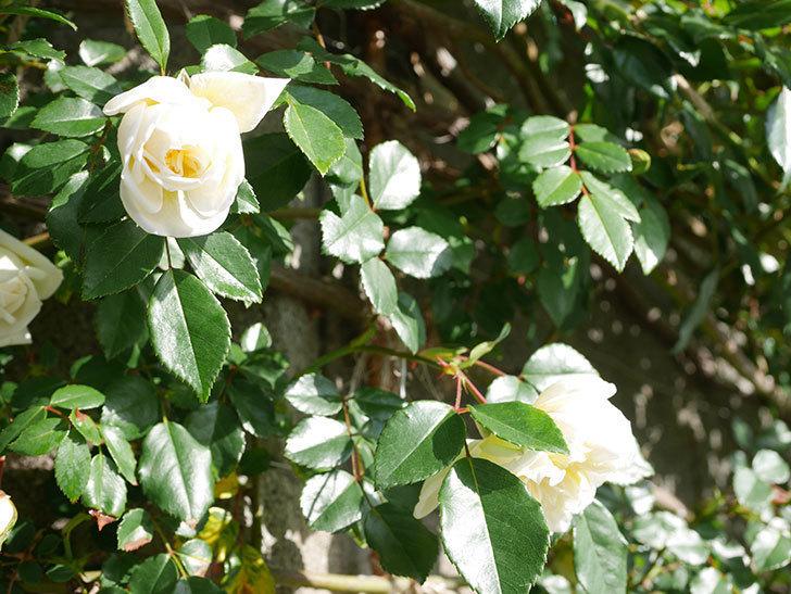 アルベリック・バルビエ(ツルバラ)の花が増えてきた。ツルバラ。2021年-005.jpg