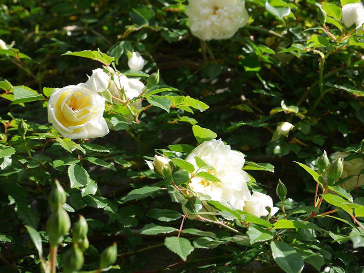 アルベリック・バルビエ(ツルバラ)の花が増えてきた。ツルバラ。2021年-006.jpg