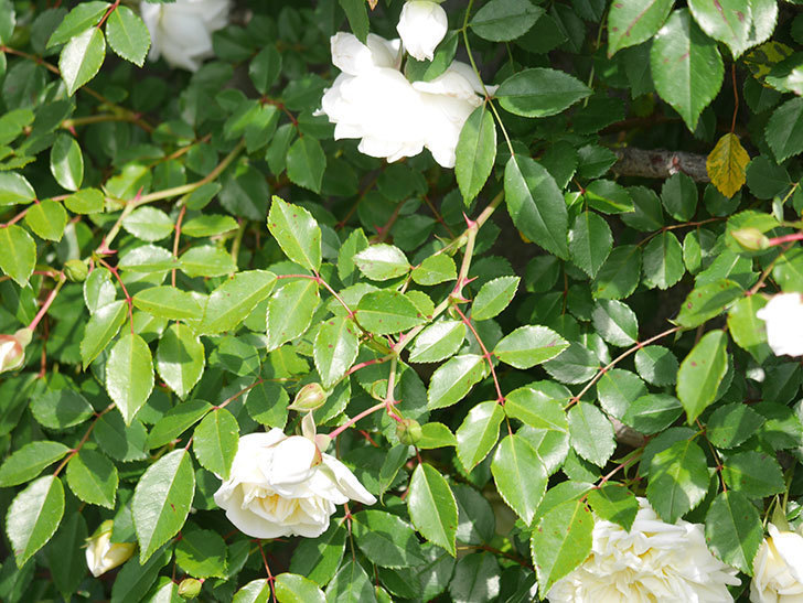 アルベリック・バルビエ(ツルバラ)の花が増えてきた。ツルバラ。2021年-007.jpg