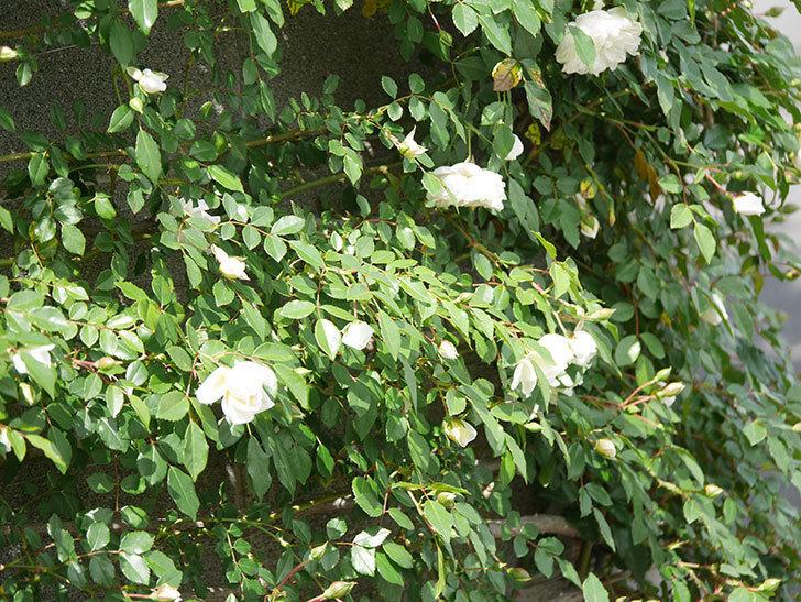 アルベリック・バルビエ(ツルバラ)の花が増えてきた。ツルバラ。2021年-008.jpg