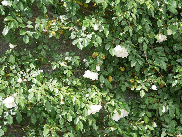 アルベリック・バルビエ(ツルバラ)の花が増えてきた。ツルバラ。2021年-009.jpg