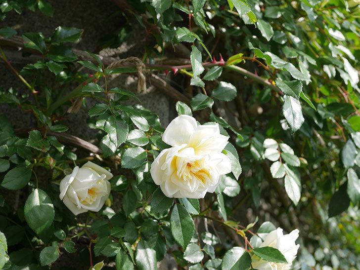 アルベリック・バルビエ(ツルバラ)の花が増えてきた。ツルバラ。2021年-010.jpg