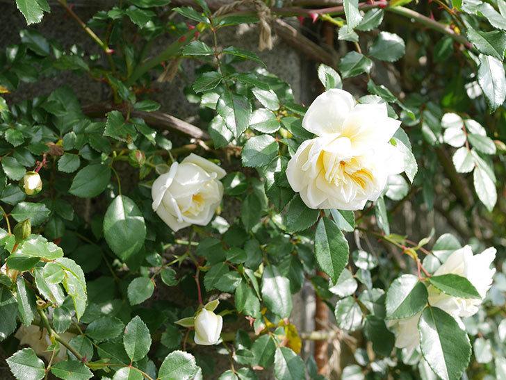 アルベリック・バルビエ(ツルバラ)の花が増えてきた。ツルバラ。2021年-011.jpg