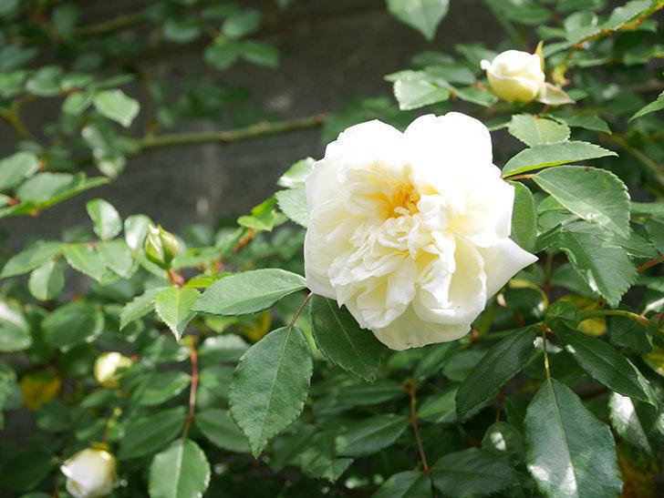 アルベリック・バルビエ(ツルバラ)の花が増えてきた。ツルバラ。2021年-012.jpg