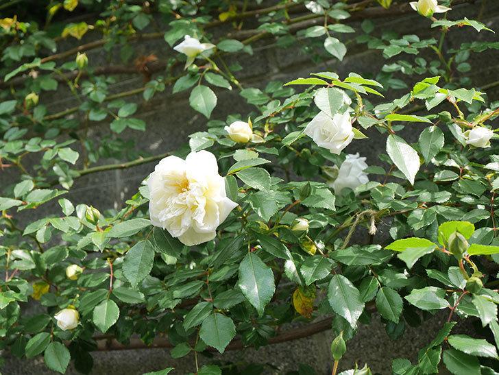 アルベリック・バルビエ(ツルバラ)の花が増えてきた。ツルバラ。2021年-013.jpg