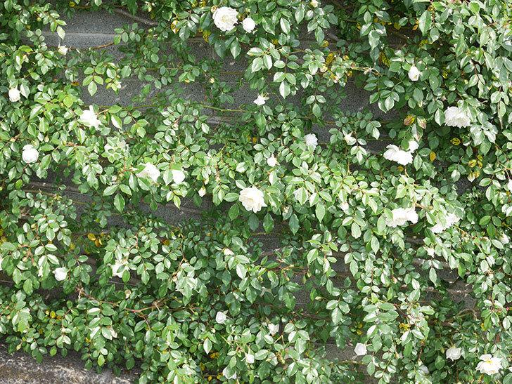 アルベリック・バルビエ(ツルバラ)の花が増えてきた。ツルバラ。2021年-014.jpg