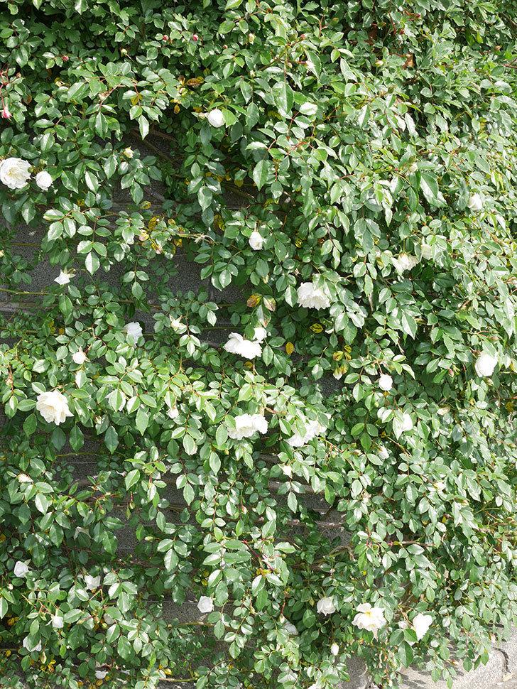 アルベリック・バルビエ(ツルバラ)の花が増えてきた。ツルバラ。2021年-015.jpg