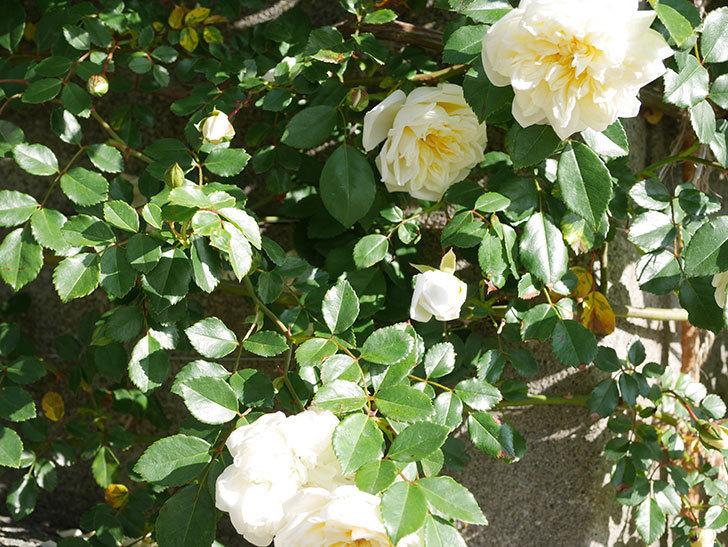アルベリック・バルビエ(ツルバラ)の花が増えてきた。ツルバラ。2021年-016.jpg