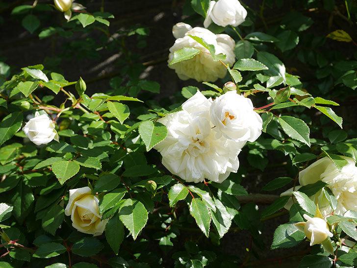 アルベリック・バルビエ(ツルバラ)の花が増えてきた。ツルバラ。2021年-017.jpg