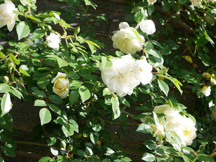 アルベリック・バルビエ(ツルバラ)の花が増えてきた。ツルバラ。2021年-018.jpg