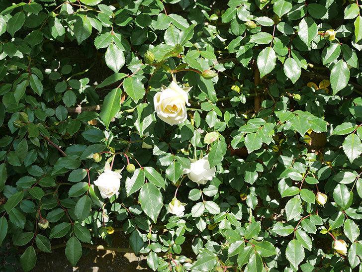 アルベリック・バルビエ(ツルバラ)の花が増えてきた。ツルバラ。2021年-019.jpg
