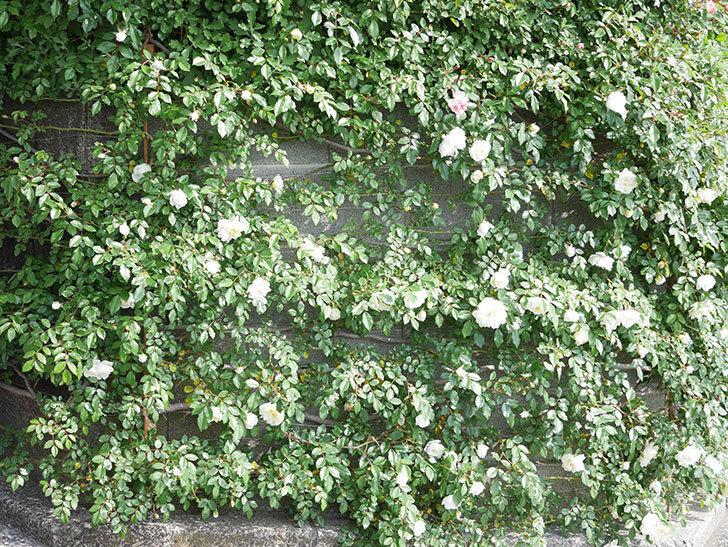 アルベリック・バルビエ(ツルバラ)の花が増えてきた。ツルバラ。2021年-020.jpg