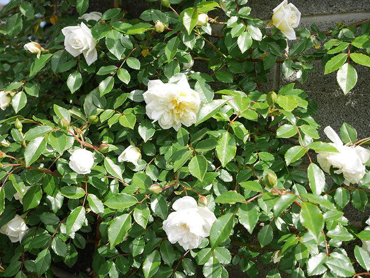 アルベリック・バルビエ(ツルバラ)の花が増えてきた。ツルバラ。2021年-021.jpg