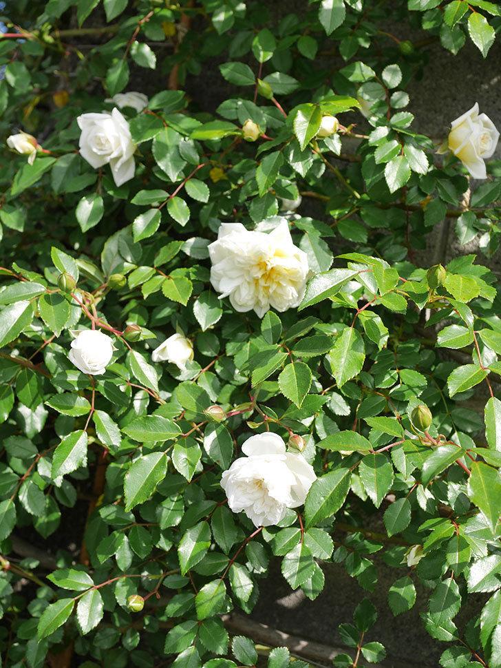 アルベリック・バルビエ(ツルバラ)の花が増えてきた。ツルバラ。2021年-022.jpg