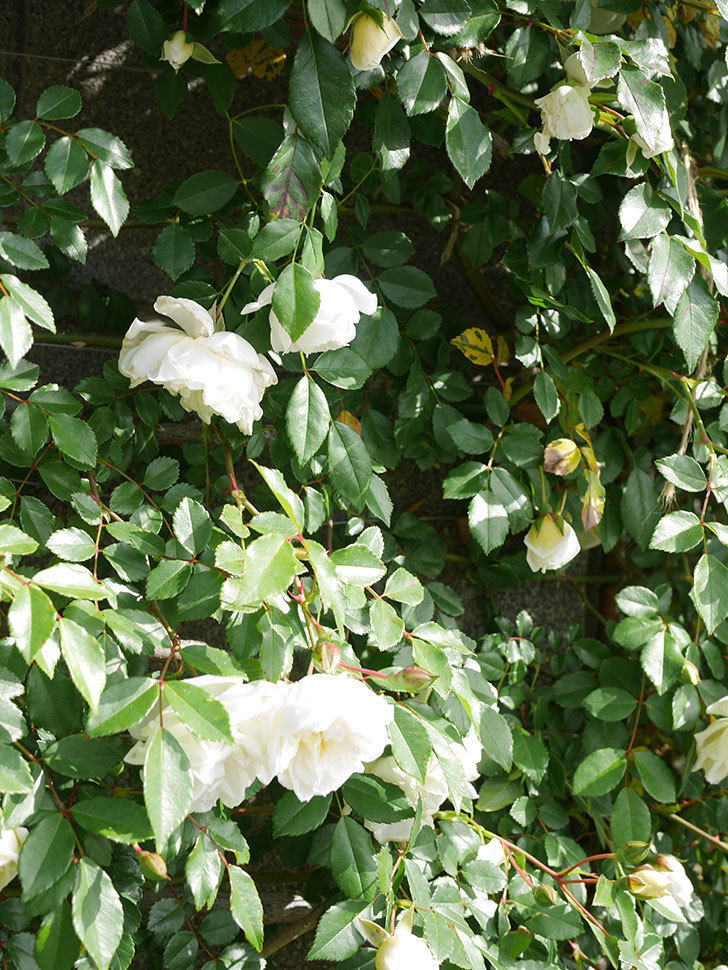 アルベリック・バルビエ(ツルバラ)の花が増えてきた。ツルバラ。2021年-023.jpg