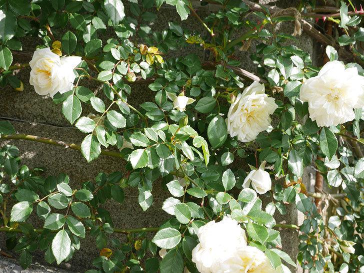 アルベリック・バルビエ(ツルバラ)の花が増えてきた。ツルバラ。2021年-024.jpg