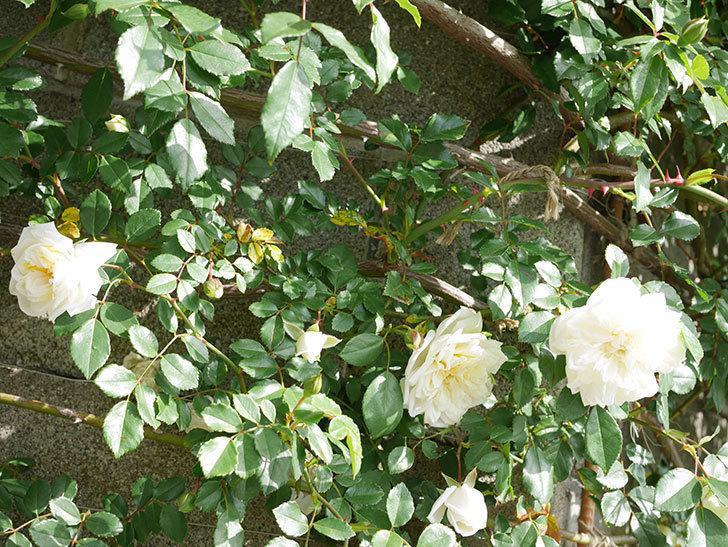 アルベリック・バルビエ(ツルバラ)の花が増えてきた。ツルバラ。2021年-025.jpg