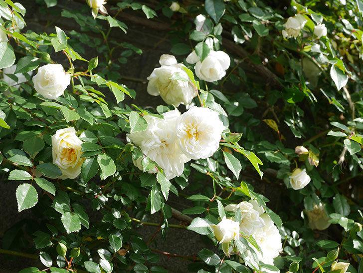 アルベリック・バルビエ(ツルバラ)の花が増えてきた。ツルバラ。2021年-026.jpg