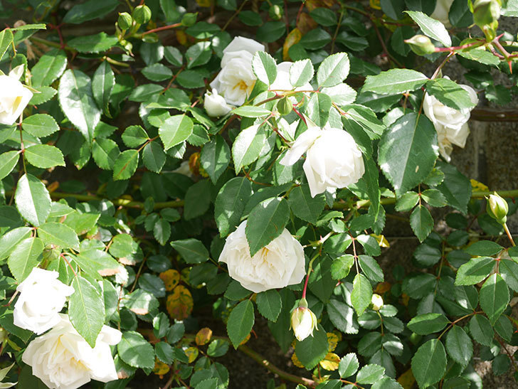 アルベリック・バルビエ(ツルバラ)の花が増えてきた。ツルバラ。2021年-027.jpg