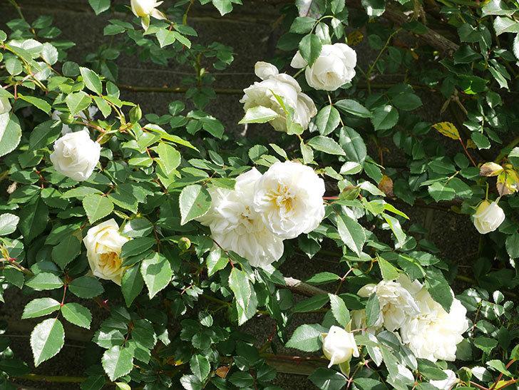 アルベリック・バルビエ(ツルバラ)の花が増えてきた。ツルバラ。2021年-028.jpg