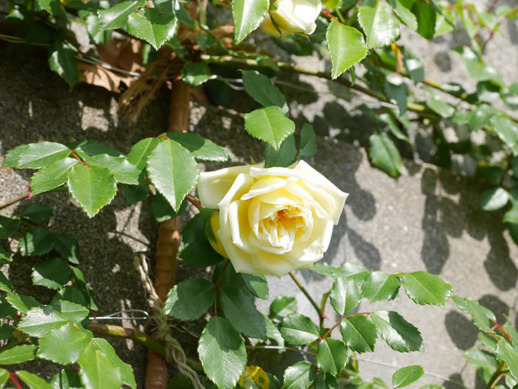 アルベリック・バルビエ(ツルバラ)の花が増えてきた。ツルバラ。2021年-030.jpg