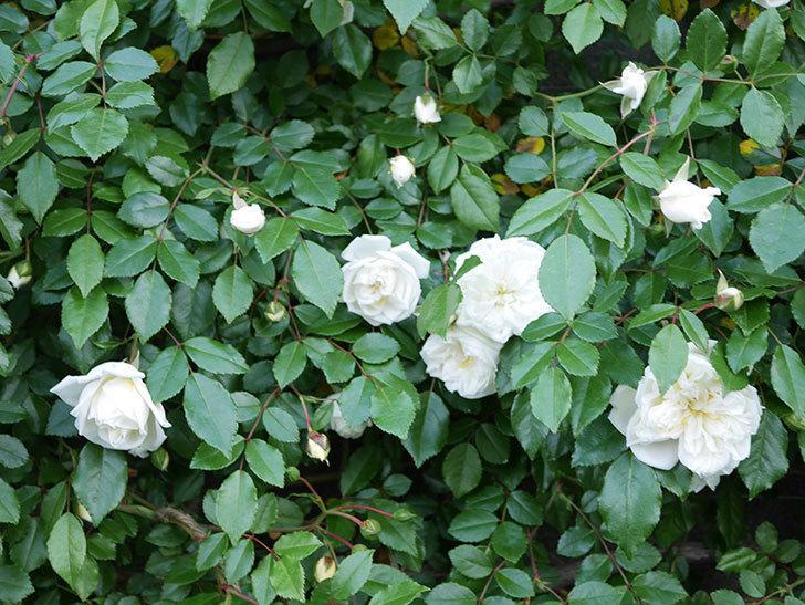 アルベリック・バルビエ(ツルバラ)の花が増えてきた。ツルバラ。2021年-032.jpg